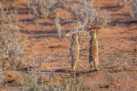 Two Meerkat rear view, in alert in Kgalagari transfrontier park, South Africa; specie Suricata suricatta family of Herpestidae Stok Fotoğraf