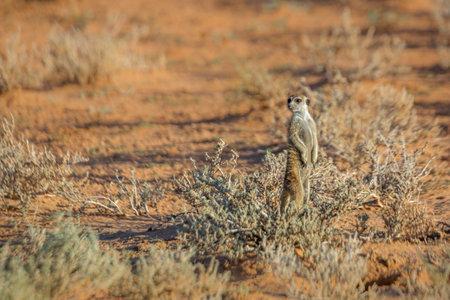 Meerkat standing in alert in Kgalagari transfrontier park, South Africa; specie Suricata suricatta family of Herpestidae