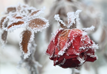 winter flower: The frozen rose Stock Photo