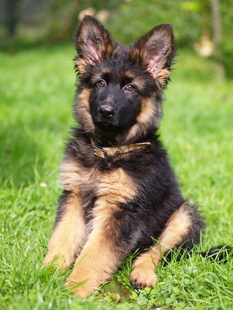 Puppy of german shepherd photo