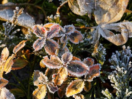 Frozen pieris japonica in winter