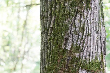 Oak in oak forest. Bark! An old tree is a whole planet. Banco de Imagens