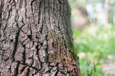 Oak in oak forest. Bark! An old tree is a whole planet.