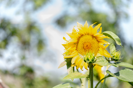 Sunflower and sun. The bright sun helps the sunflower to grow. Stock Photo
