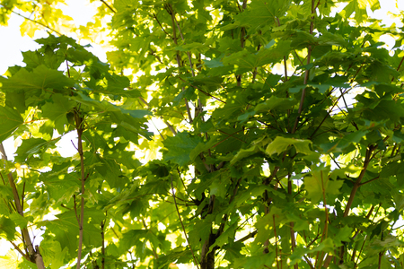 Young maple. The glare of the sun in the leaves. Dense foliage. Stock Photo