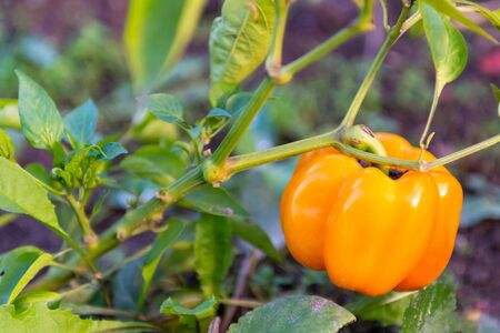 Sweet pepper. Ripe sweet pepper in the garden. Yellow pepper Matures on the bush.