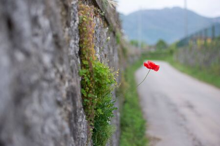 Poppy flower. A red poppy flower sprouted in the stonework by the road.