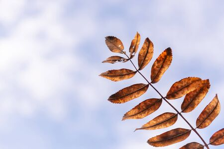Rowan leaf. Autumn yellow leaf against the sky. Withering mountain ash leaf.