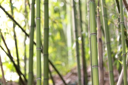 Bamboo in the mountains of Italy. Young bamboo grows on the slopes of mountains in Tuscany.