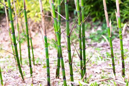 Sprouts of young bamboo. Bamboo in the mountains of Italy. Bright and juicy young bamboo.