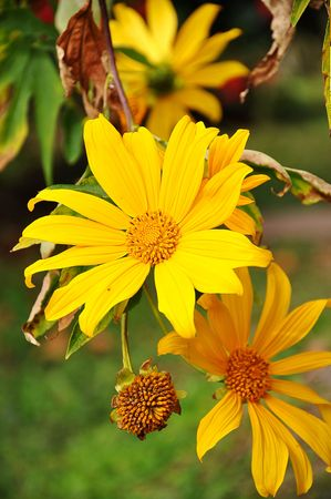 wallpapaer: Sun flower Stock Photo