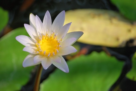 Lotus2 photo