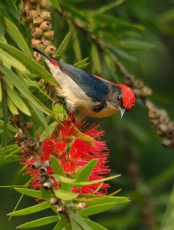 scarlet backed flowerpecker on flower Фото со стока