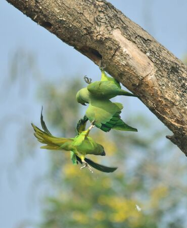 rose ringed parakeet in fight