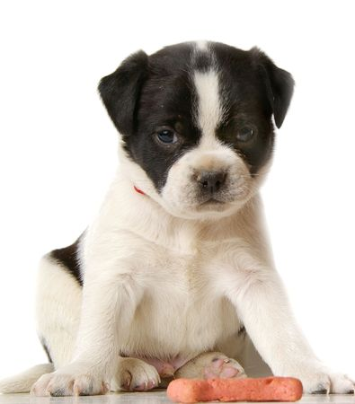 loveable: A little funny puppy poses on a white background. Stock Photo