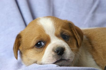 loveable: A small puppy relaxes on a blue background.