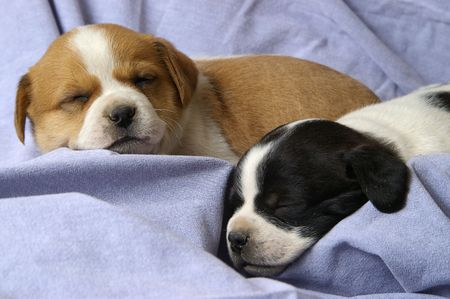 Two small puppies asleep on a denim backdrop. photo