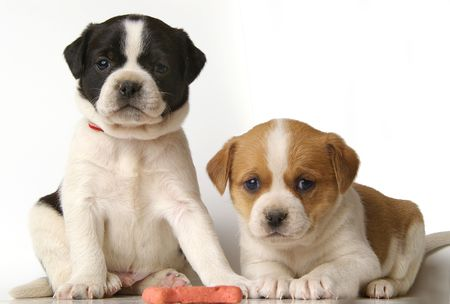loveable: Two adorable puppies with very serious expressions. Stock Photo