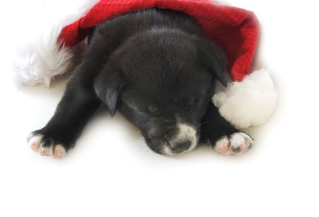 An exhausted puppy has holiday stress.