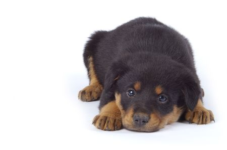 An adorable puppy with an innocent look. Isolated white background. 版權商用圖片