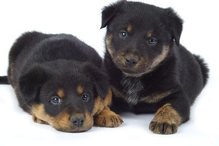 Two playful puppies resting on a white backdrop.