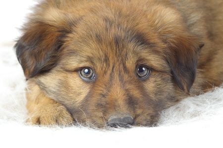 loveable: Fluffy puppy resting on a furry white backdrop. Stock Photo