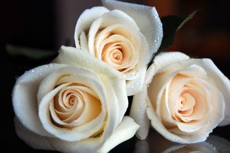 White creamy roses