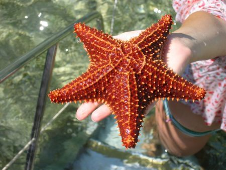 Live starfish in a hand Stock Photo
