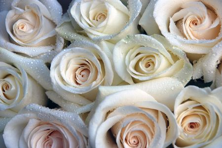 White creawy roses background