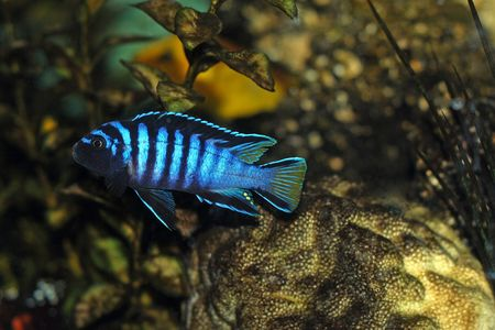 Cichlid fish in aquarium