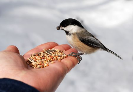 Hungry chickadee or titmouse on a hand