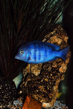 Blue dolphin-like cichlid fish in aquarium  Stock Photo - 872743