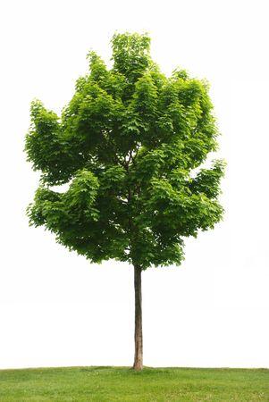 흰색 배경에 고립 된 녹색 잎 단풍 나무