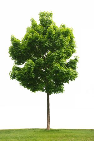 Maple tree with green leaves isolated on white background