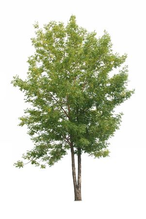 Single tree with green leaves isolated on white background Stock fotó