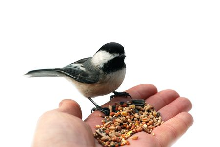 Chickadee on a hand isolated on white 免版税图像