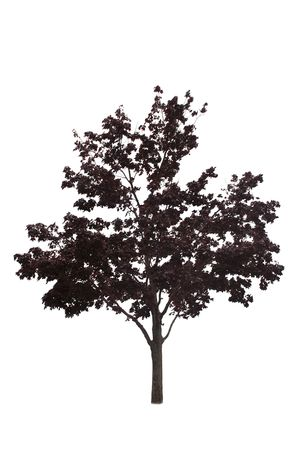 Japanese maple tree isolated on a white background  Stock Photo