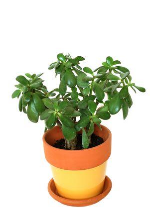 jade plant: Jade tropical plant isolated.  tree.
