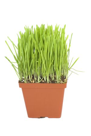 Green grass in a pot isolated on white background