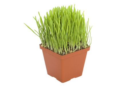 Green grass in a pot isolated on white background Stock Photo - 3606636