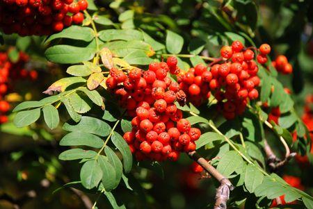 Ash berries