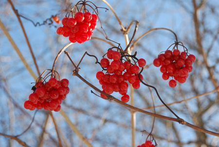 Winter berries - soft focus