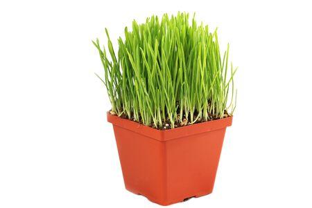 catfood: Pentola con avena verde erba isolato su bianco baclgrond Archivio Fotografico