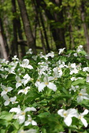 trillium: White Trillium flowers blooming in woodlands, Ontario provincial flower.Soft focus Stock Photo