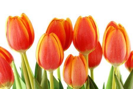 tulipan: Bukiet pięknych wiosennych tulipanów