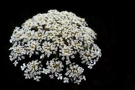 White flower on a black