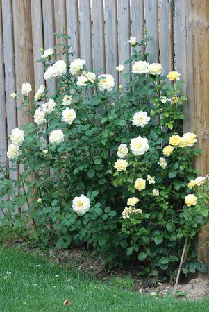 White roses  photo