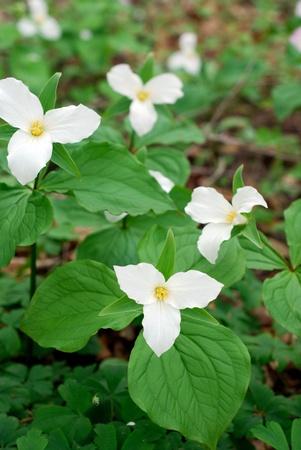 trillium: Trillium Flowers in a forest Stock Photo