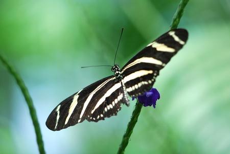 Zebra longwing butterfly on a flower