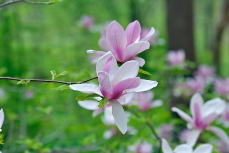 Magnolia flower with natural green background Stock Photo - 9585292